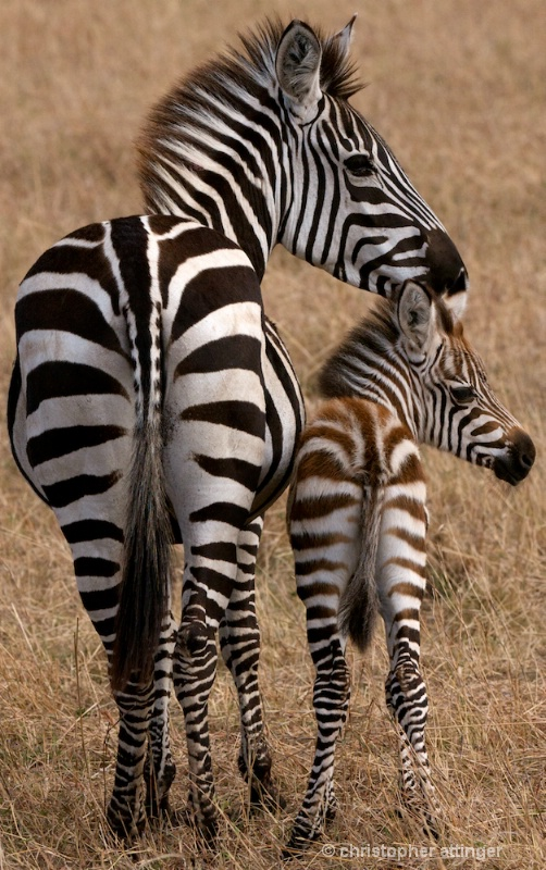 DSC_7845 Zebra mother and her colt - ID: 10393221 © Chris Attinger