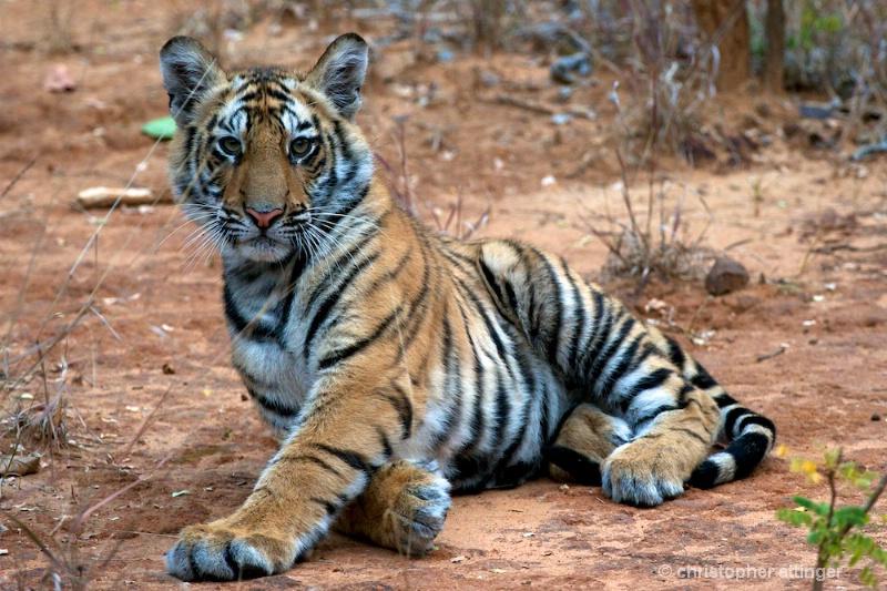 DSC_3144 Tiger cub looking up - ID: 10393225 © Chris Attinger
