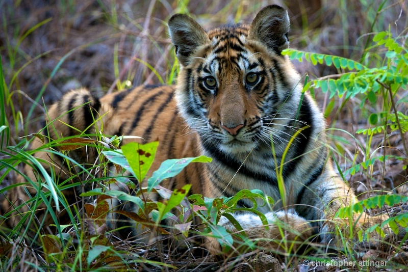 DSC_3400 Tiger cub looking up - ID: 10393231 © Chris Attinger