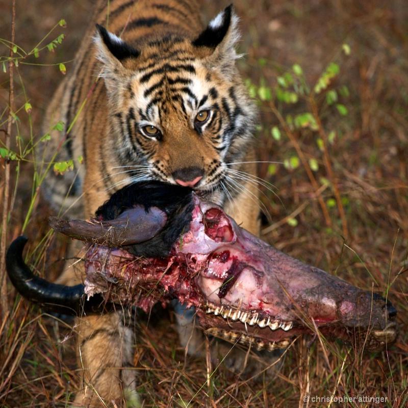 DSC_4102 Tiger cub holding up buffalo head - ID: 10393233 © Chris Attinger
