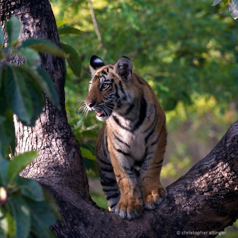 DSC_4480 Tiger cub in tree - ID: 10393238 © Chris Attinger
