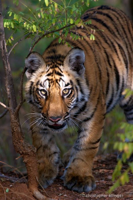 DSC_4489 tiger cub stalking - ID: 10393240 © Chris Attinger