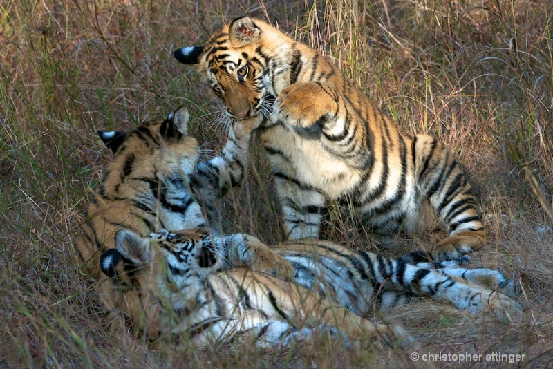 DSC_4905 Tiger cubs fighting - ID: 10393244 © Chris Attinger