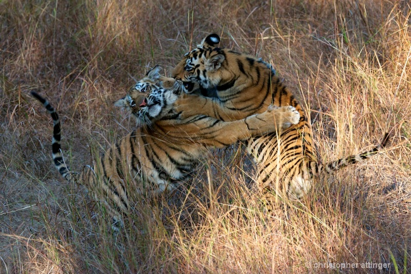 DSC_5311 Tiger cubs play fighting - ID: 10393251 © Chris Attinger