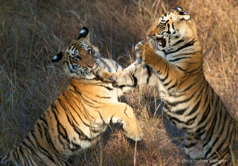 DSC_5368 Tiger cubs play fighting - ID: 10393252 © Chris Attinger