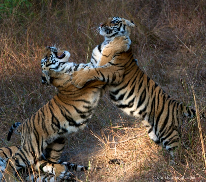 DSC_5508 Tiger cubs play fighting - ID: 10393256 © Chris Attinger