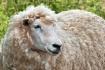 Ewe's Beautif...