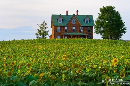 House Among Sunflowers