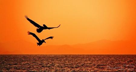 Pelicans in Flight - BVIs