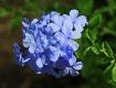 Baby Blue Petals