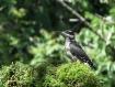 Hairy Woodpecker ...