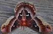 Unique Moth