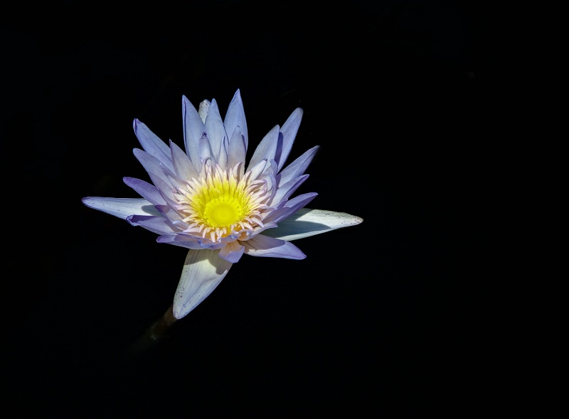 Water Lily - ID: 10425013 © Steve Abbett
