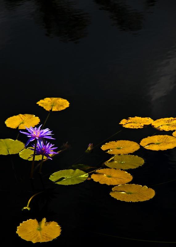 Lilies on the Pond - ID: 10427939 © Steve Abbett