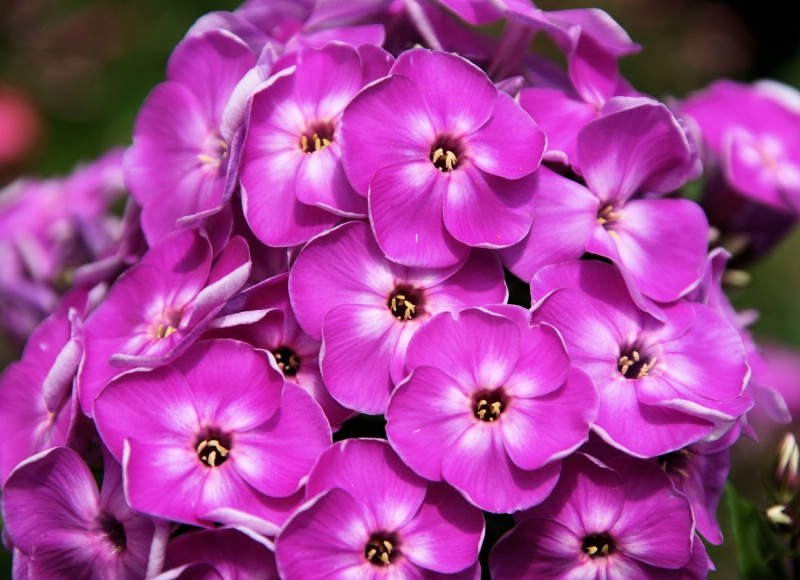 Phlox Purple 2
