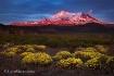Mt Shast Bloom