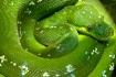 Spiral Green Serp...