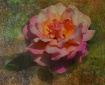 Rose from Rosecli...