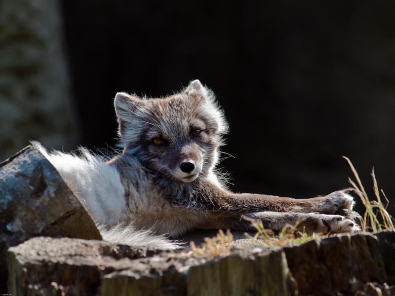 ~Artic Fox~