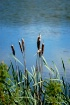 Cattails at the l...