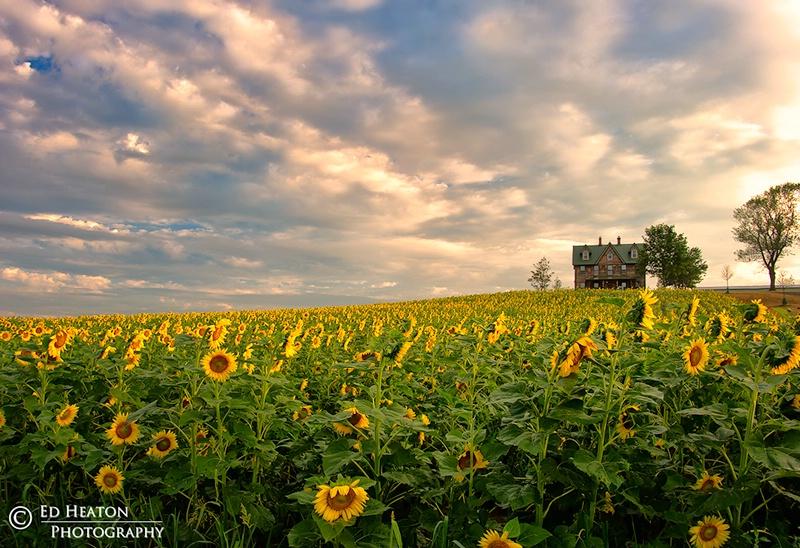 Sunflowers & Farmhouse
