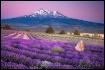 Shasta Lavender
