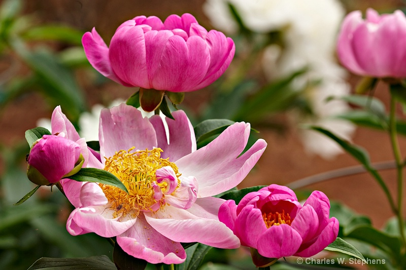 Peony Party - ID: 10443567 © Charles W. Stephens