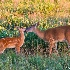 © Richard S. Young PhotoID # 10445001: Mother and Fawn; Big Meadows; Shenandoah NP