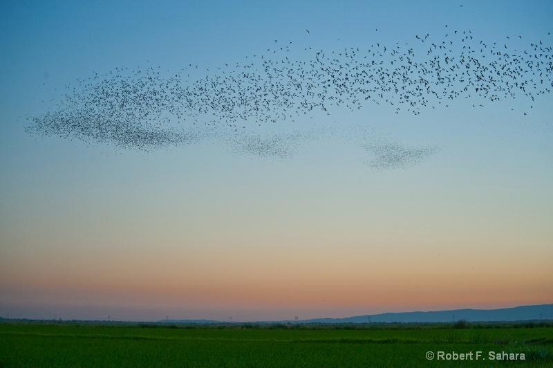 Hungry Bats v2 - ID: 10456495 © Robert F. Sahara
