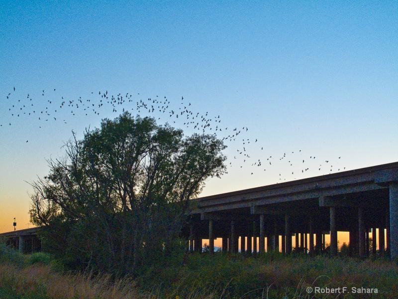 Mexican Free-tailed Bats - ID: 10456566 © Robert F. Sahara