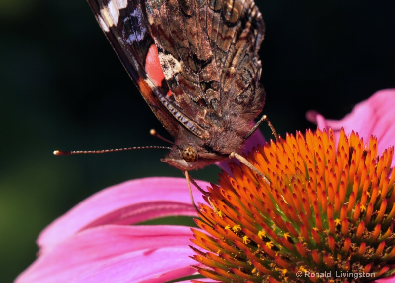 Red Admiral - ID: 10460520 © Ron Livingston