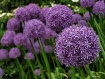 Purple Alliums