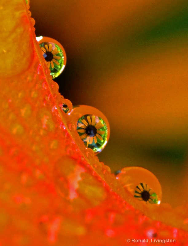 Daylily Droplets - ID: 10467625 © Ron Livingston