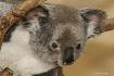 Peek a boo koala
