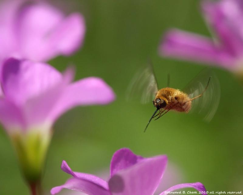 Bee Fly Flight