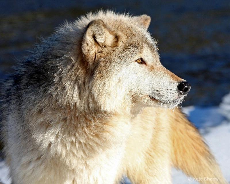 Majestic wolf - ID: 10498685 © Katherine Sherry