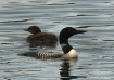 Common Loon and C...