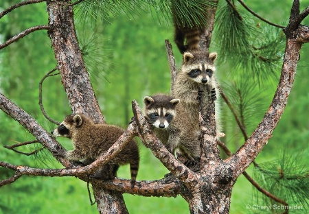 Raccoons Up A Tree
