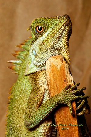 Mountain Horned Dragon (male)