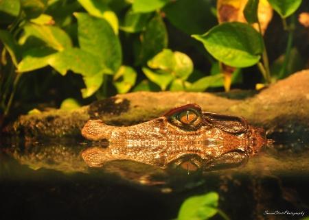 Dwarf Caiman Crocodile