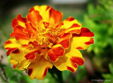 Marigold Ruffles