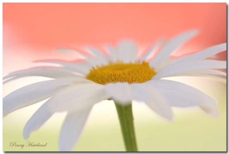 July Daisy