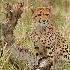 © Deborah Gillham PhotoID # 10553560: cheetahcub01-2