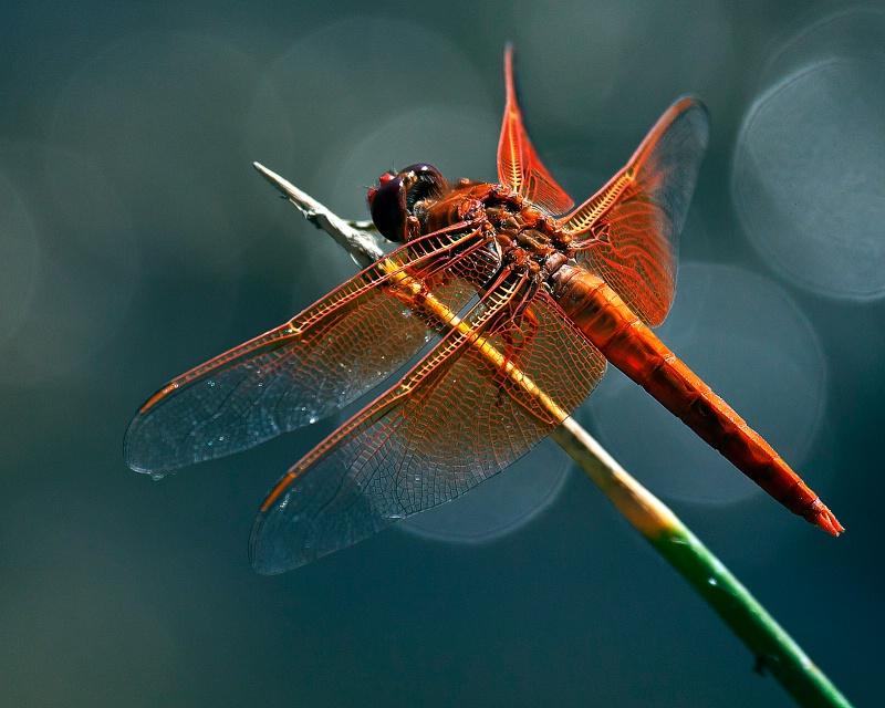 Orange Dragon - ID: 10554452 © Michael Kelly