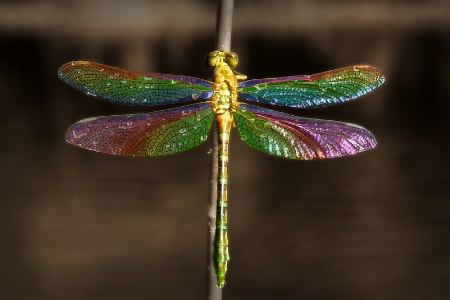 Tiffany Dragonfly