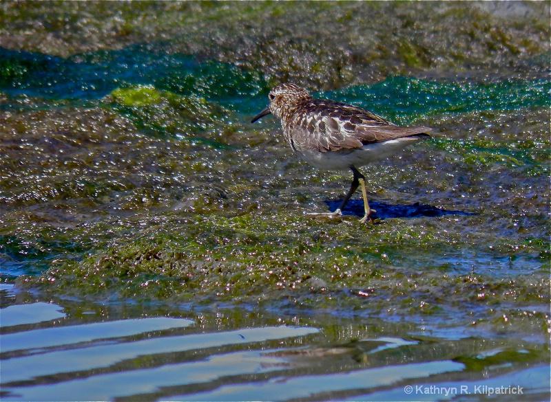Western Sandpiper - ID: 10555045 © Kathryn R. Kilpatrick