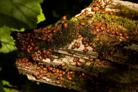Lady Bugs (1)