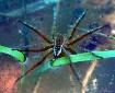 Masked Spider