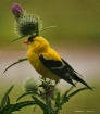 Finch on Thistle