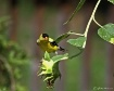 Sunflower Finch 1